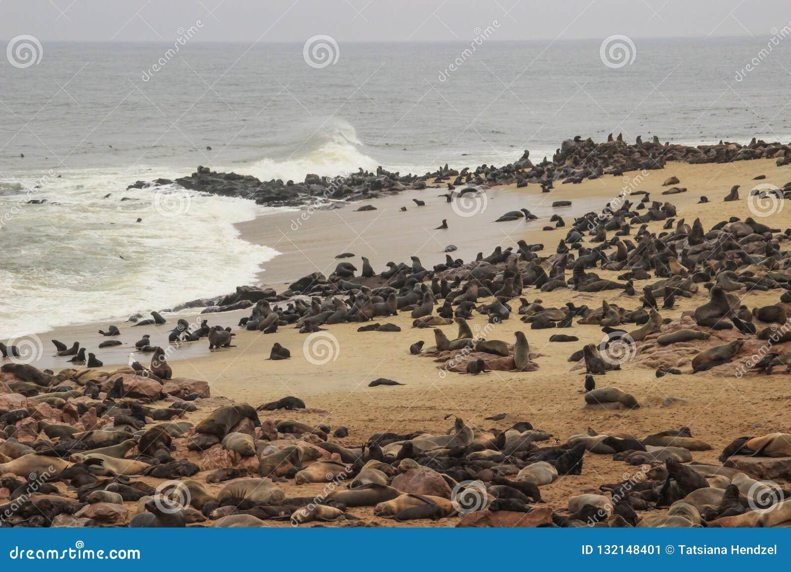 Le guarnizioni sveglie giocano rumorosamente sulle rive dell Oceano Atlantico in Namibia