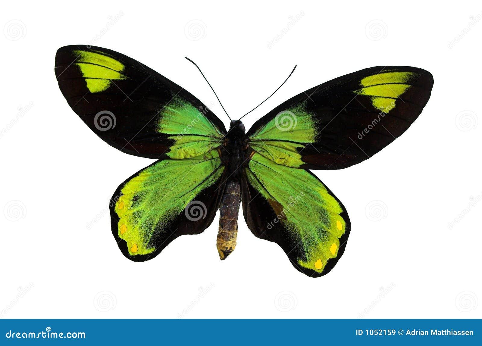 Le guindineau vert