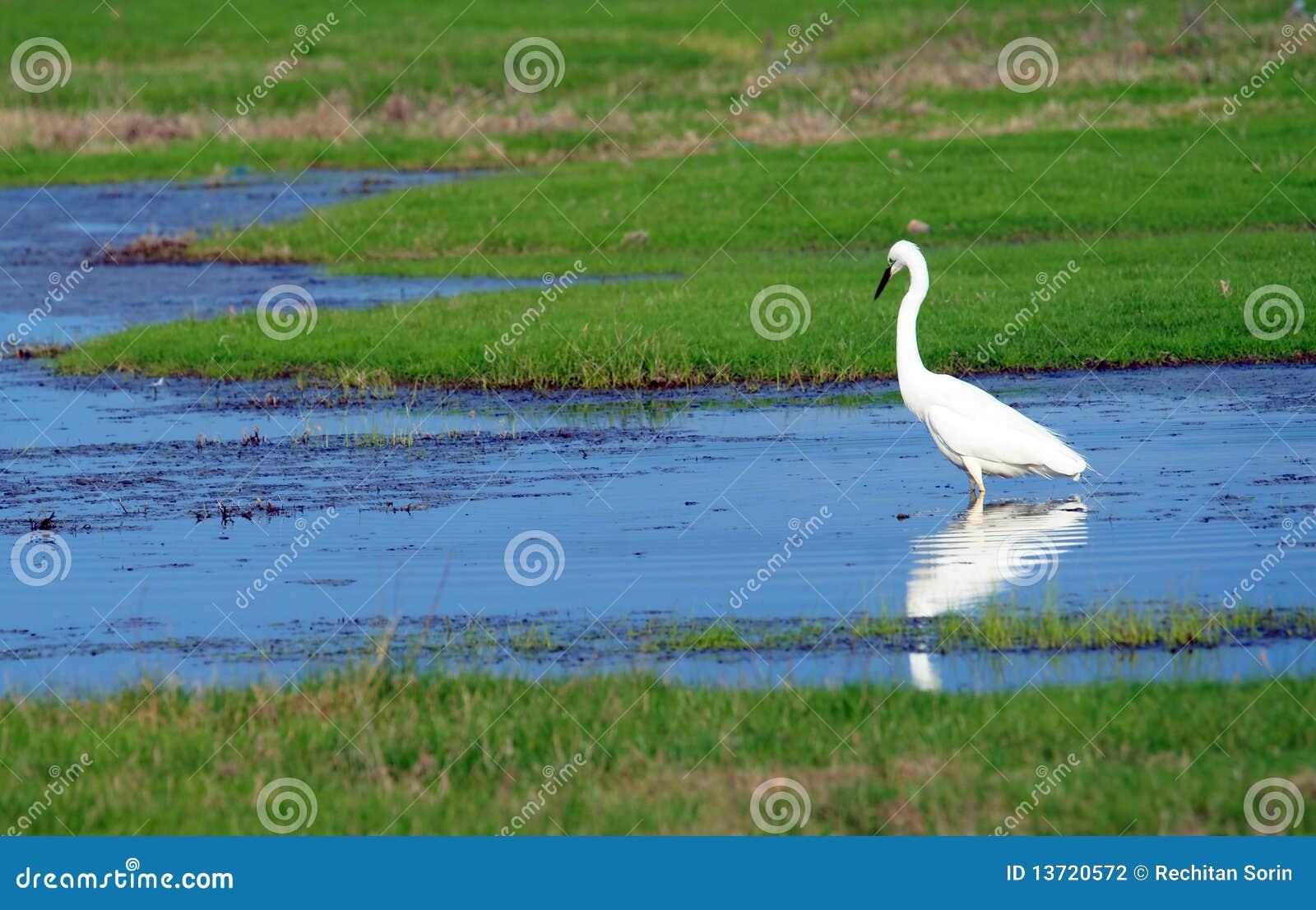 Le héron grand (Ardea alba)