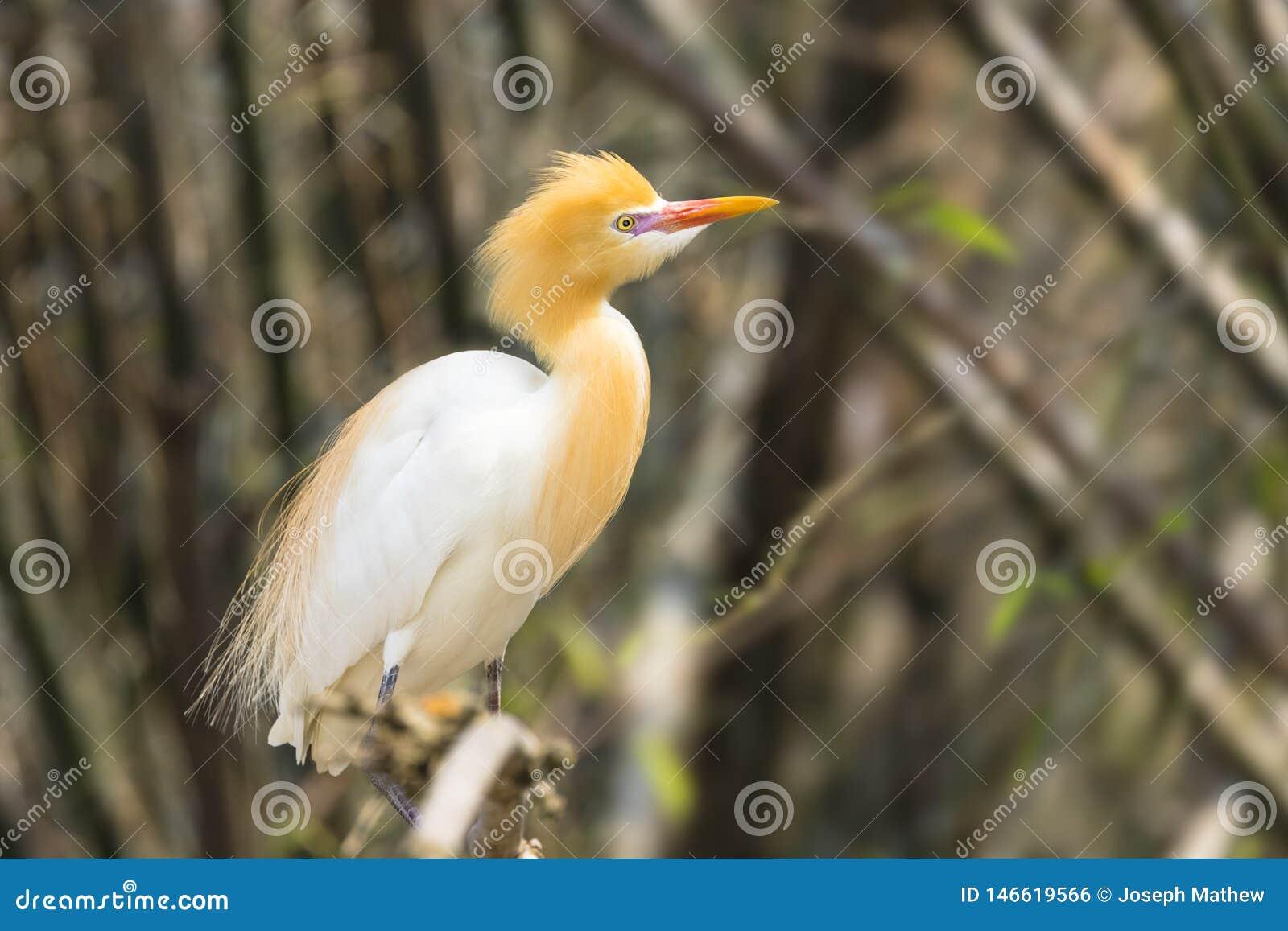 Le h?ron de b?tail blanc est trouv? dans le bord de lac en bambou Pokhara N?pal d arbres