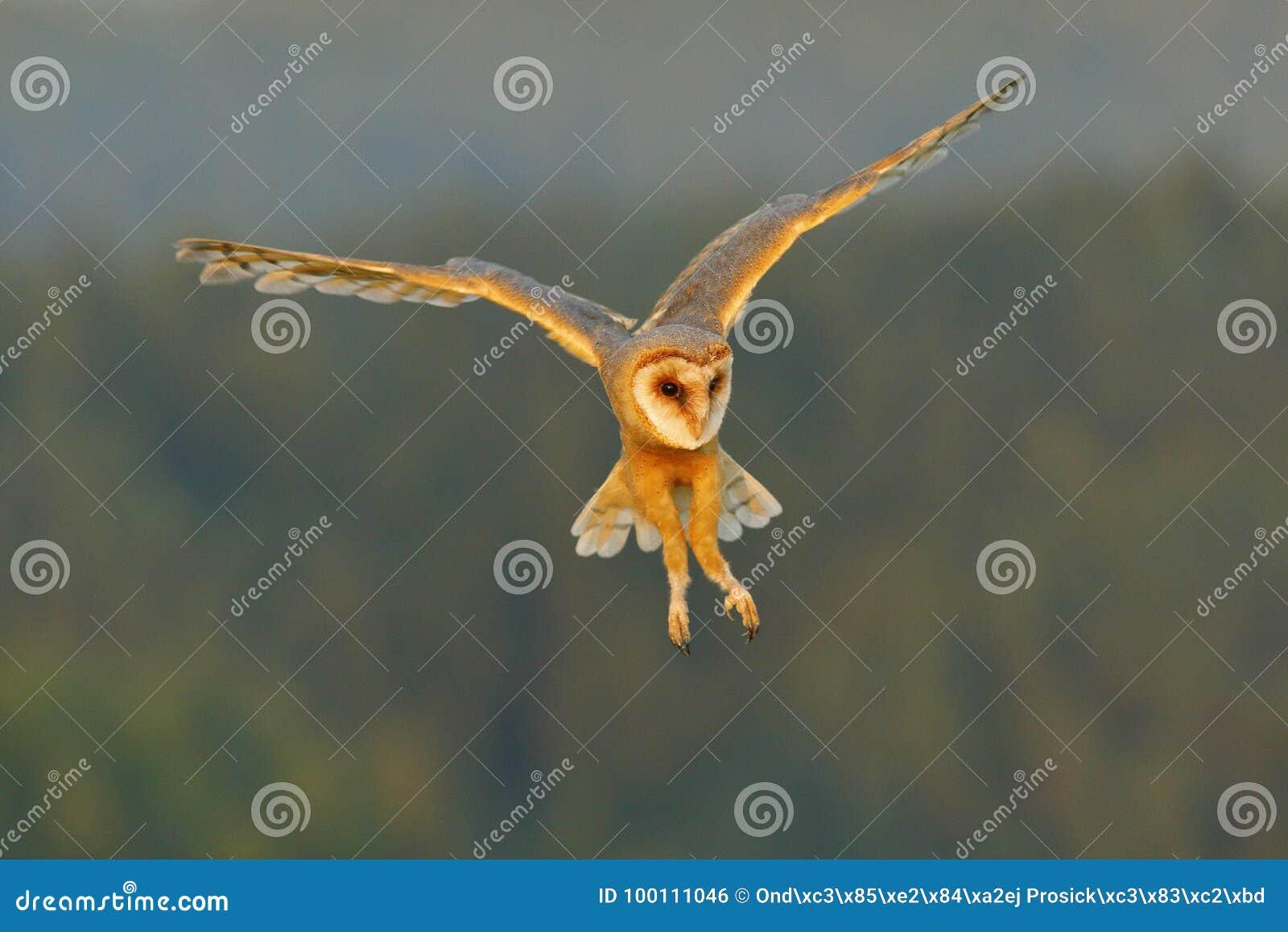 Le hibou de grange, oiseau léger gentil en vol, dans l herbe, a tendu les ailes, scène de faune d action de nature, Royaume-Uni F