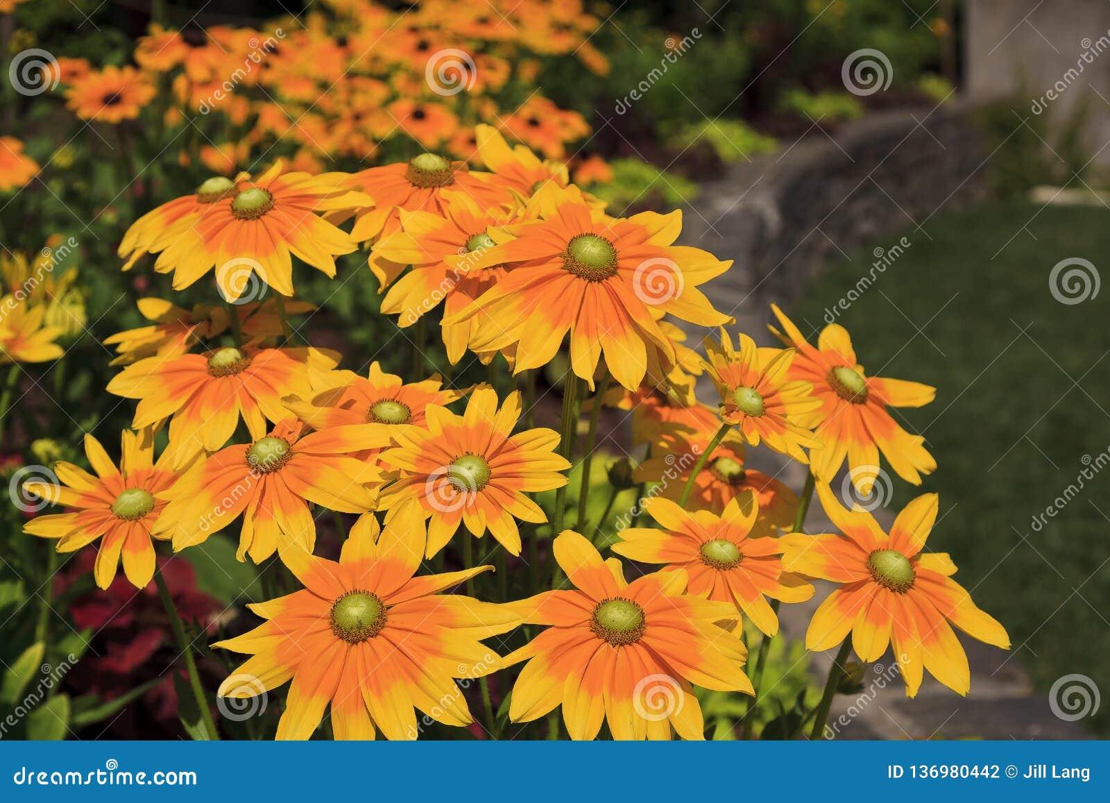 Le jaune a centré Susan Flowers Blooming observée noire