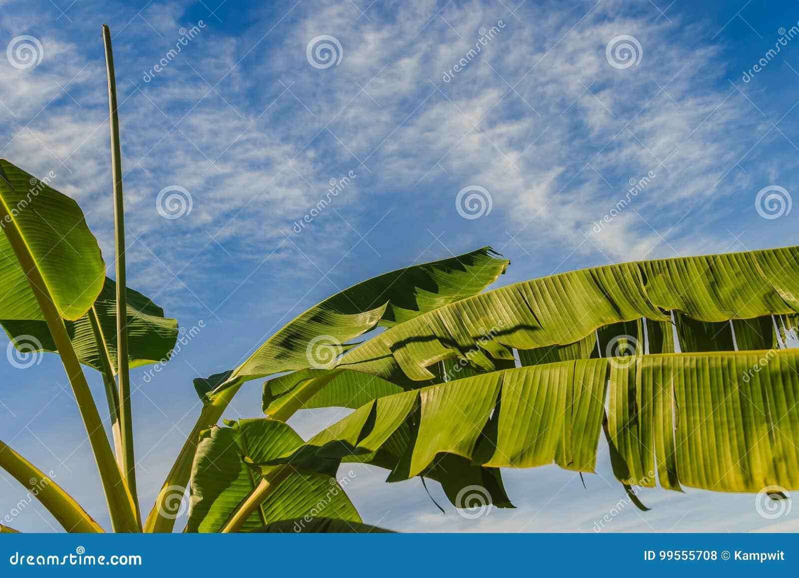 le jeune bananier organique avec le vert a déchiré des feuilles sous