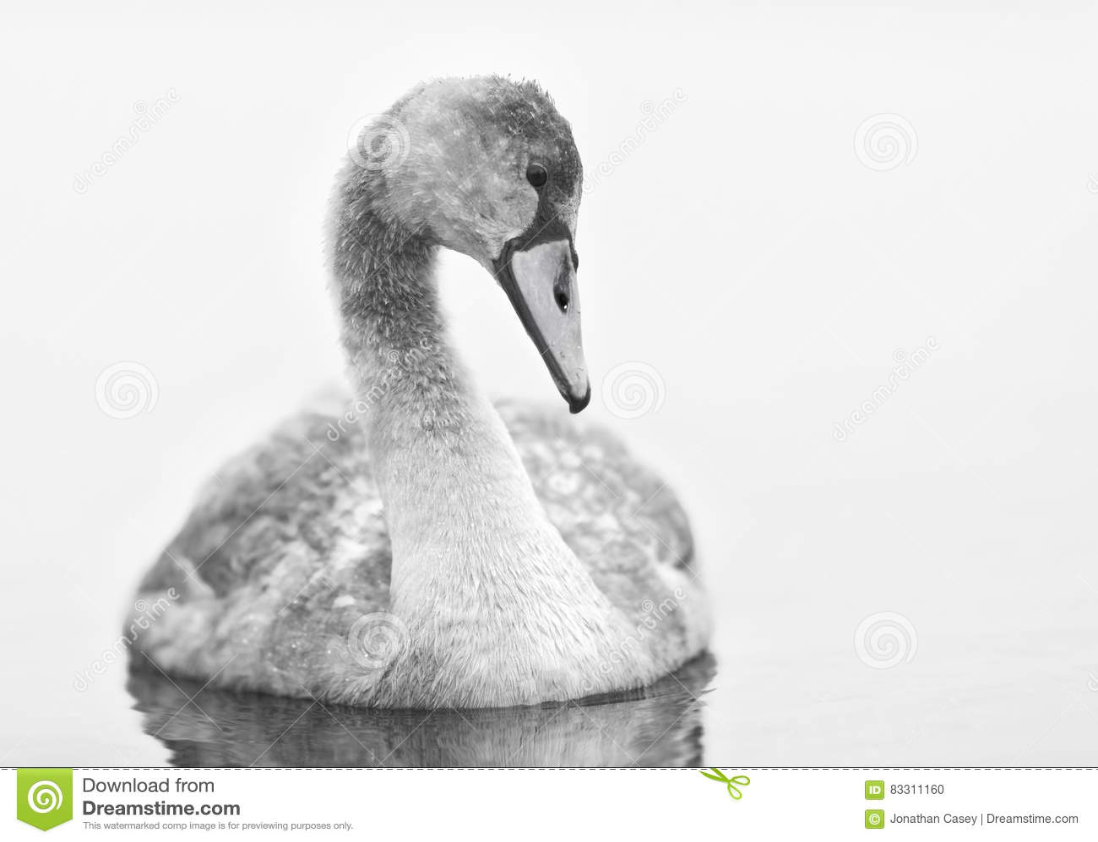 Le jeune cygne regarde fixement l eau lisse en noir et blanc