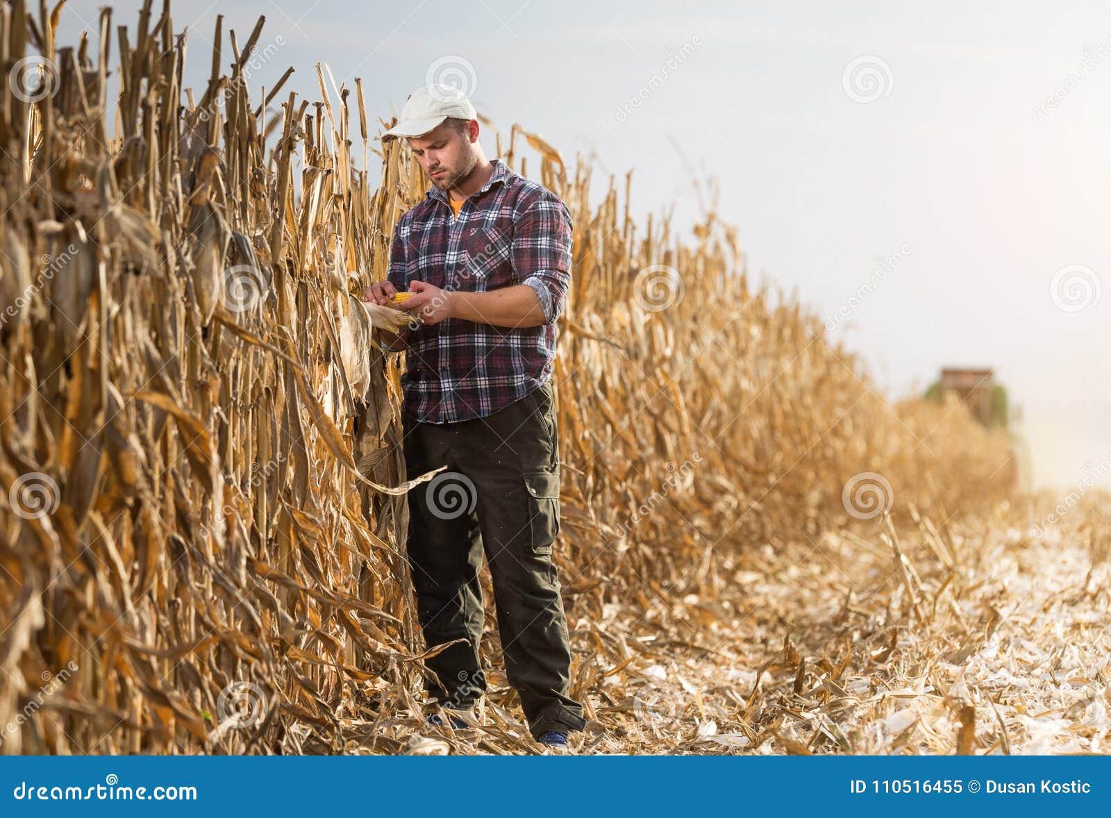 Le jeune exploitant agricole examinent le maïs dans le domaine de maïs pendant la récolte