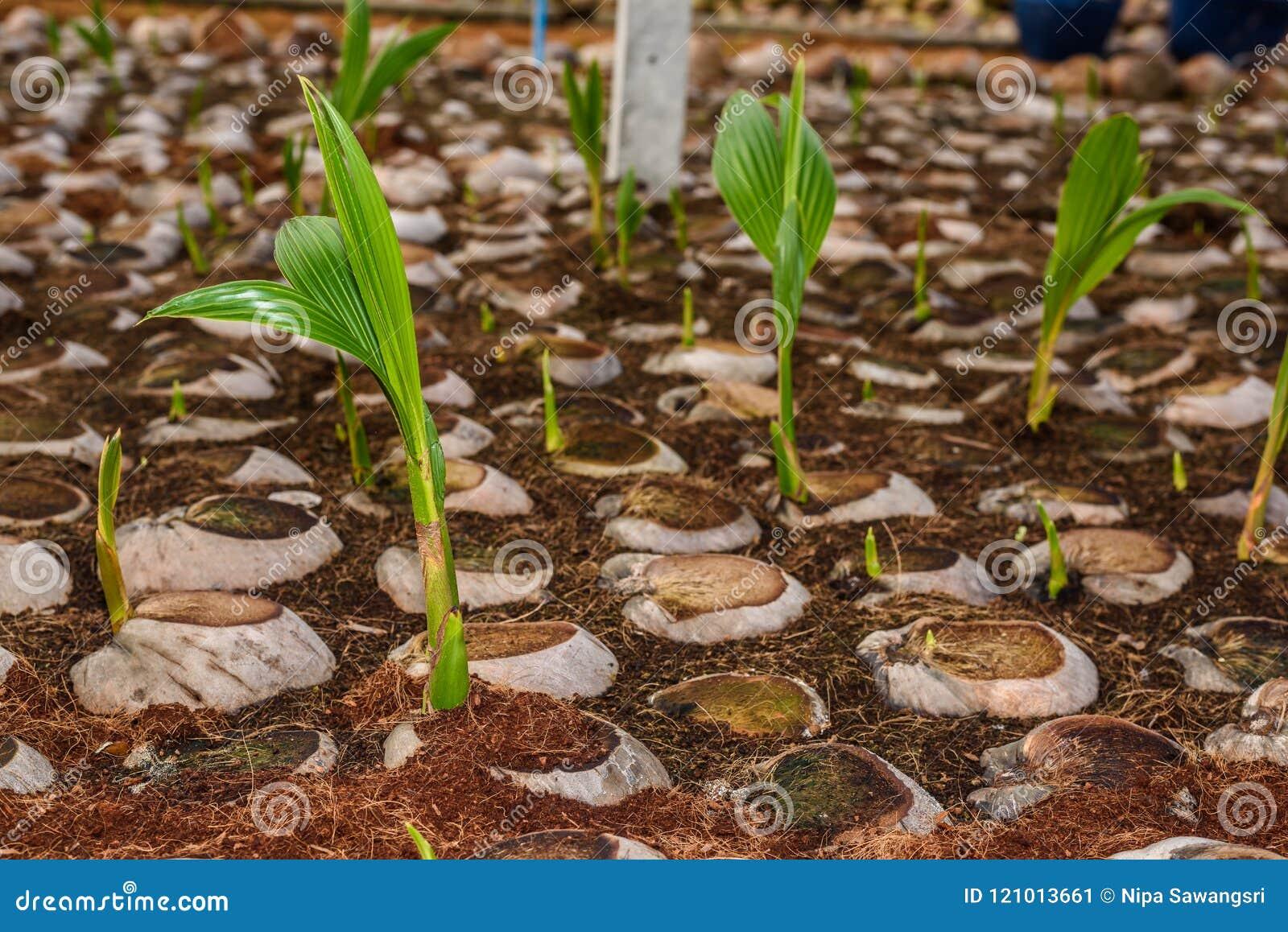 Le jeune parfum de noix de coco dans l élevage de noix de coco cultive dans la conversion