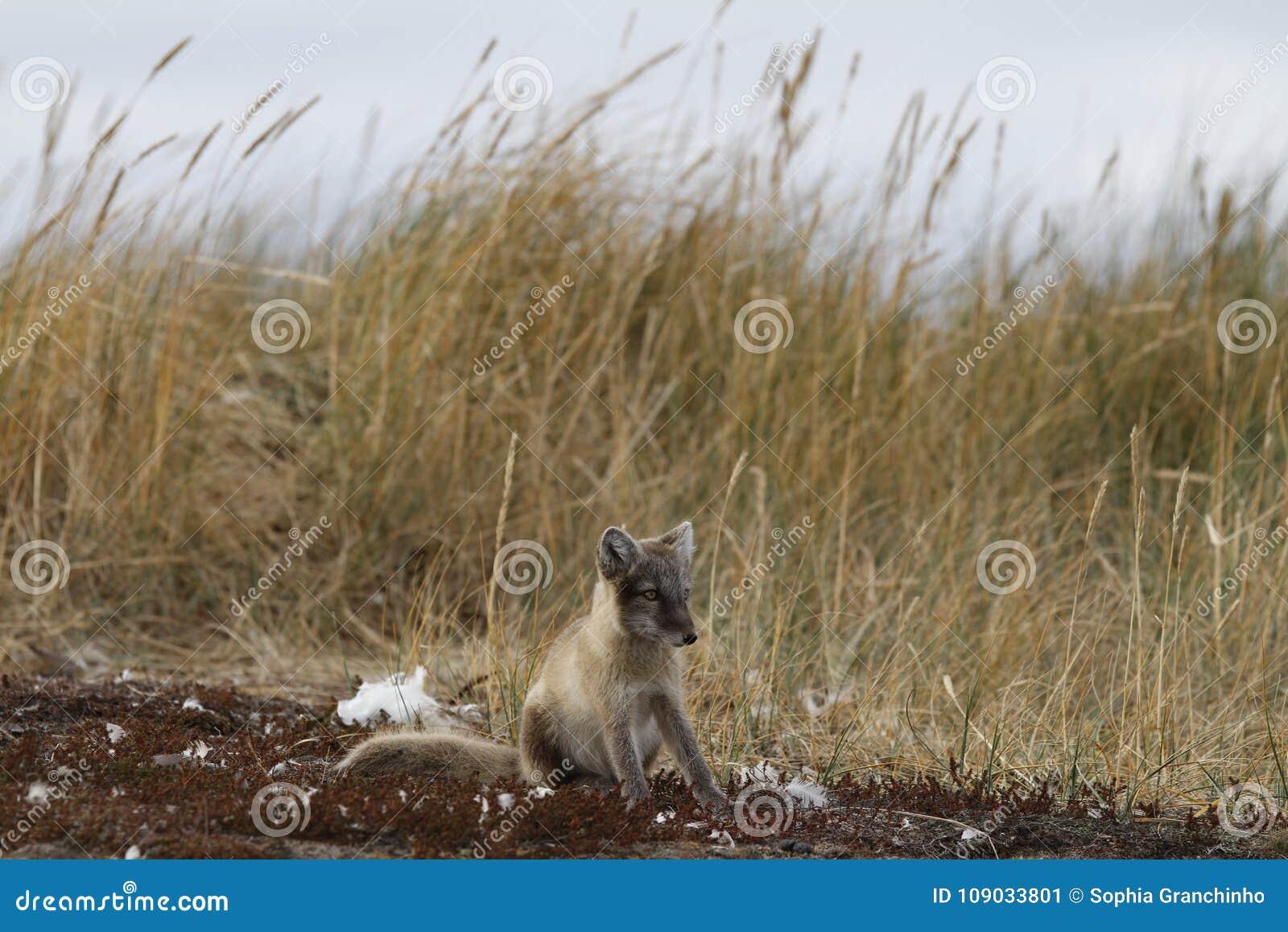 Le jeune renard arctique, Lagopus de Vulpes, dans la chute colore regarder dans la distance près de son repaire