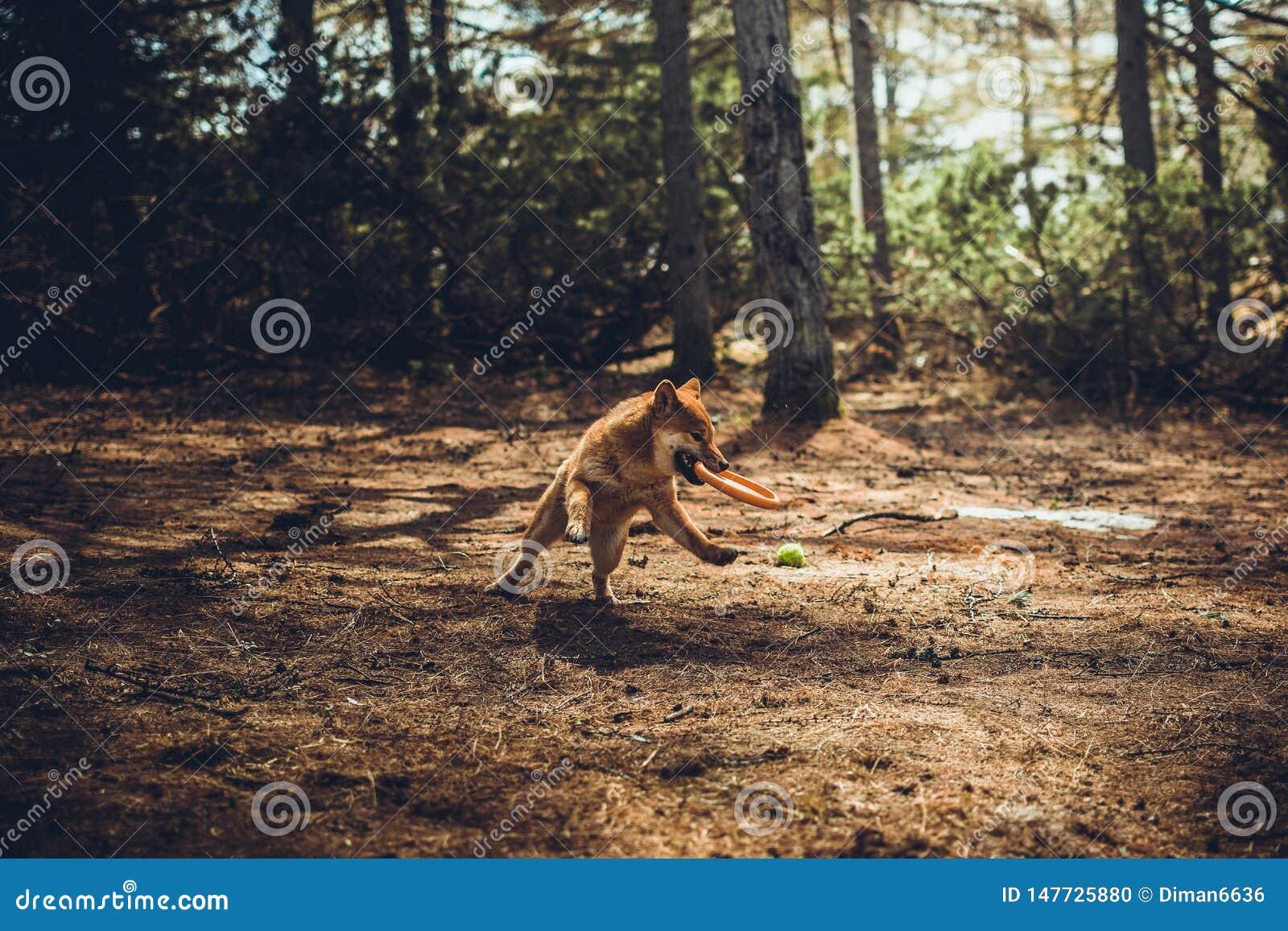Le jeune shiba-inu rouge de chien joue en nature