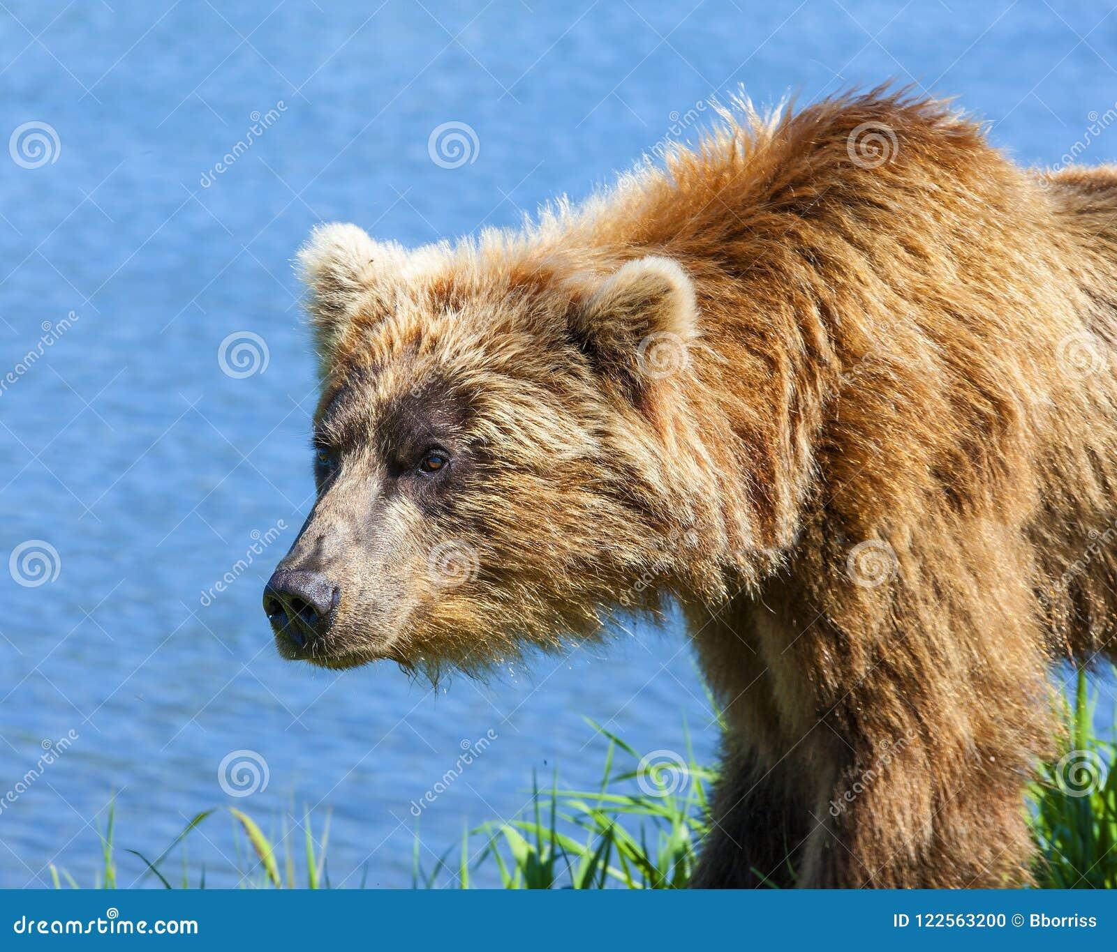 Le Kamtchatka brun concernent le rivage du lac kuril