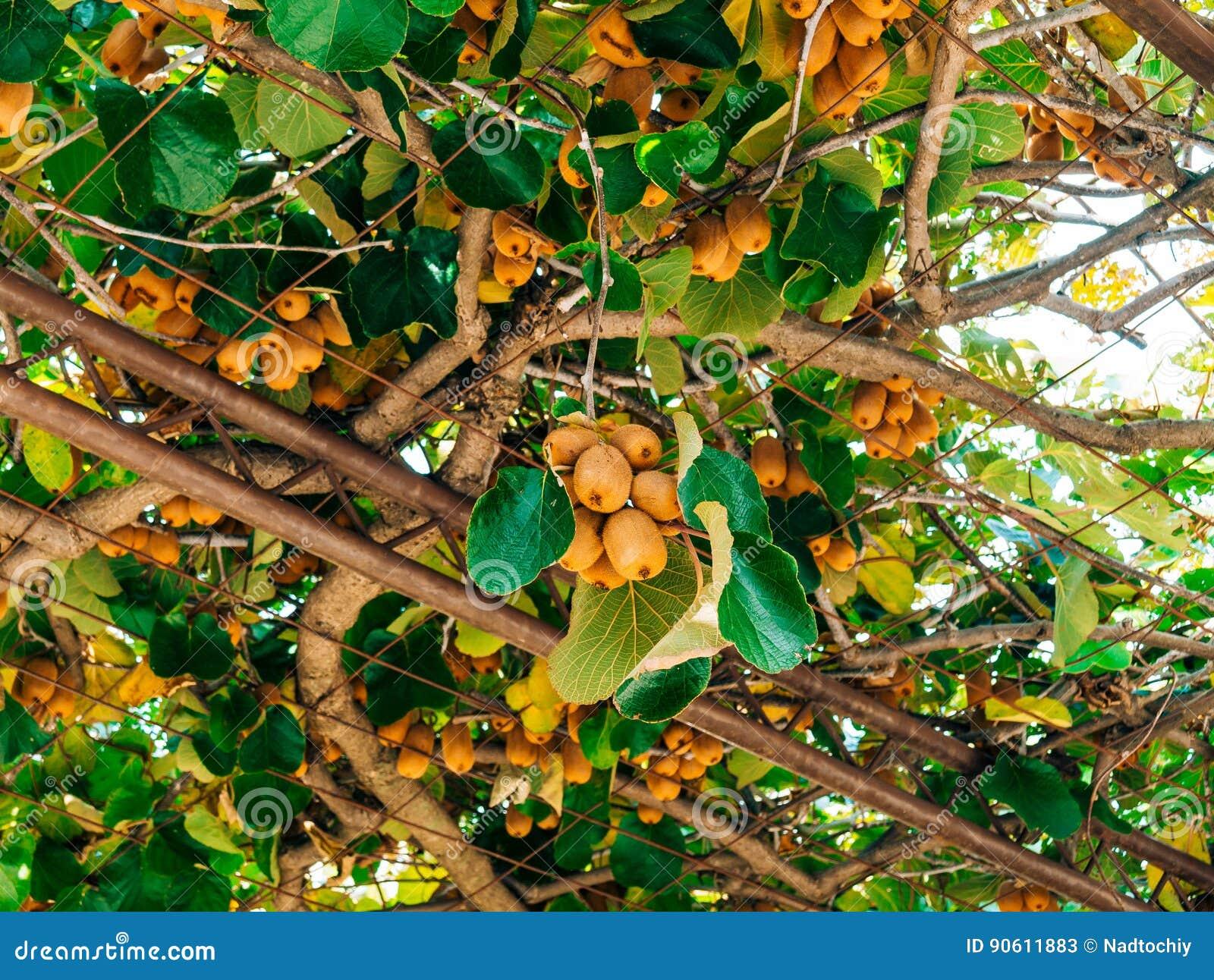 le kiwi sur un arbre vol plan de kiwi d 39 arbre de liane sur le raisin arbo image stock image. Black Bedroom Furniture Sets. Home Design Ideas
