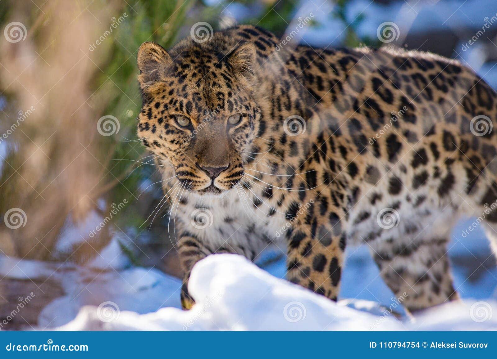 Le léopard d Extrême-Orient en hiver le prédateur est un animal dangereux