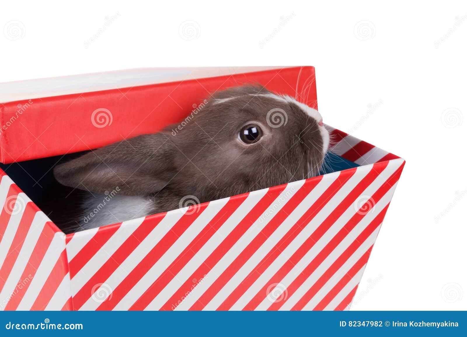 Le lapin nain néerlandais de bébé regarde hors du boîte-cadeau sur le petit morceau