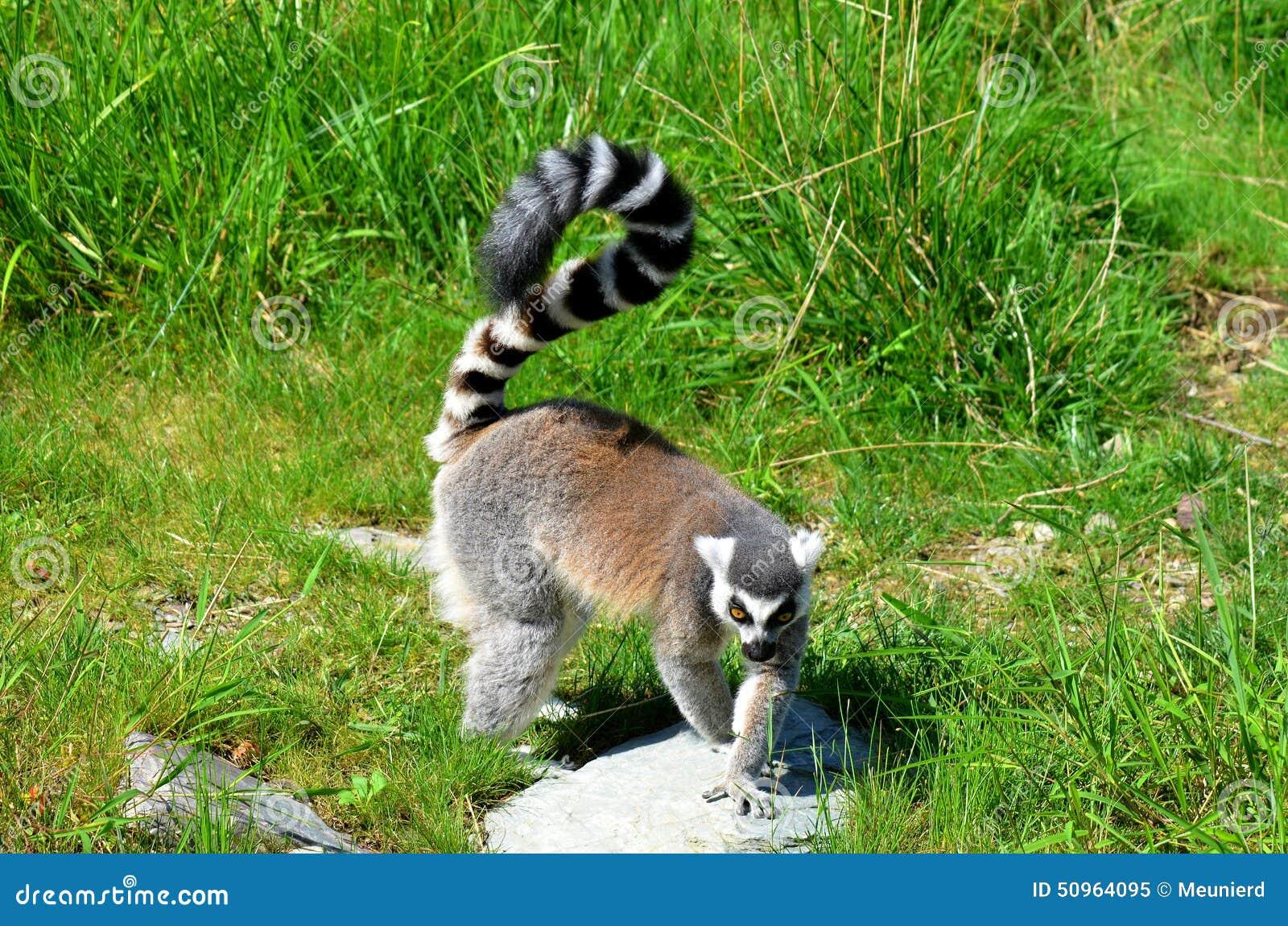 Le Lemur Ring-tailed