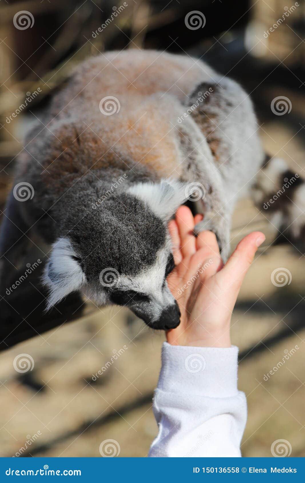 Le lemure catta leccano la mano di un bambino