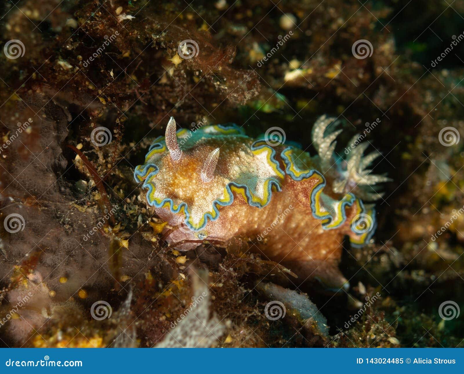 Le lingot de mer de Nudibranch sur la roche et les algues sont perché sous l eau