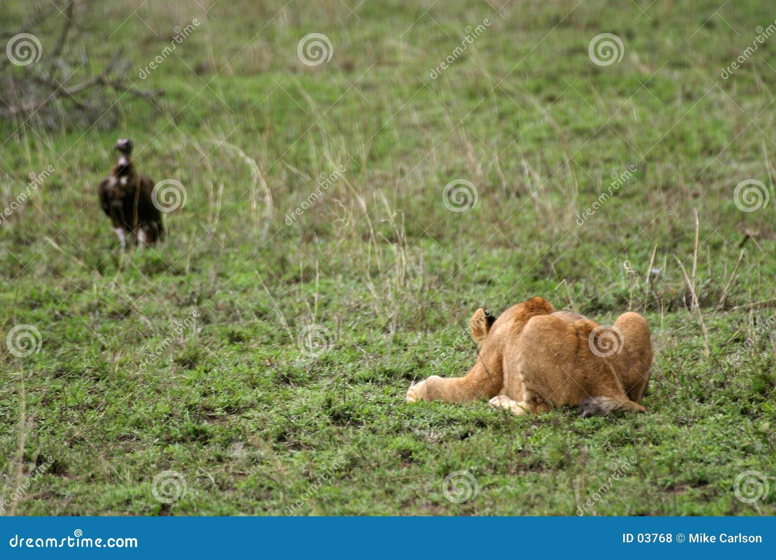 Le lion Cub sautent la pratique