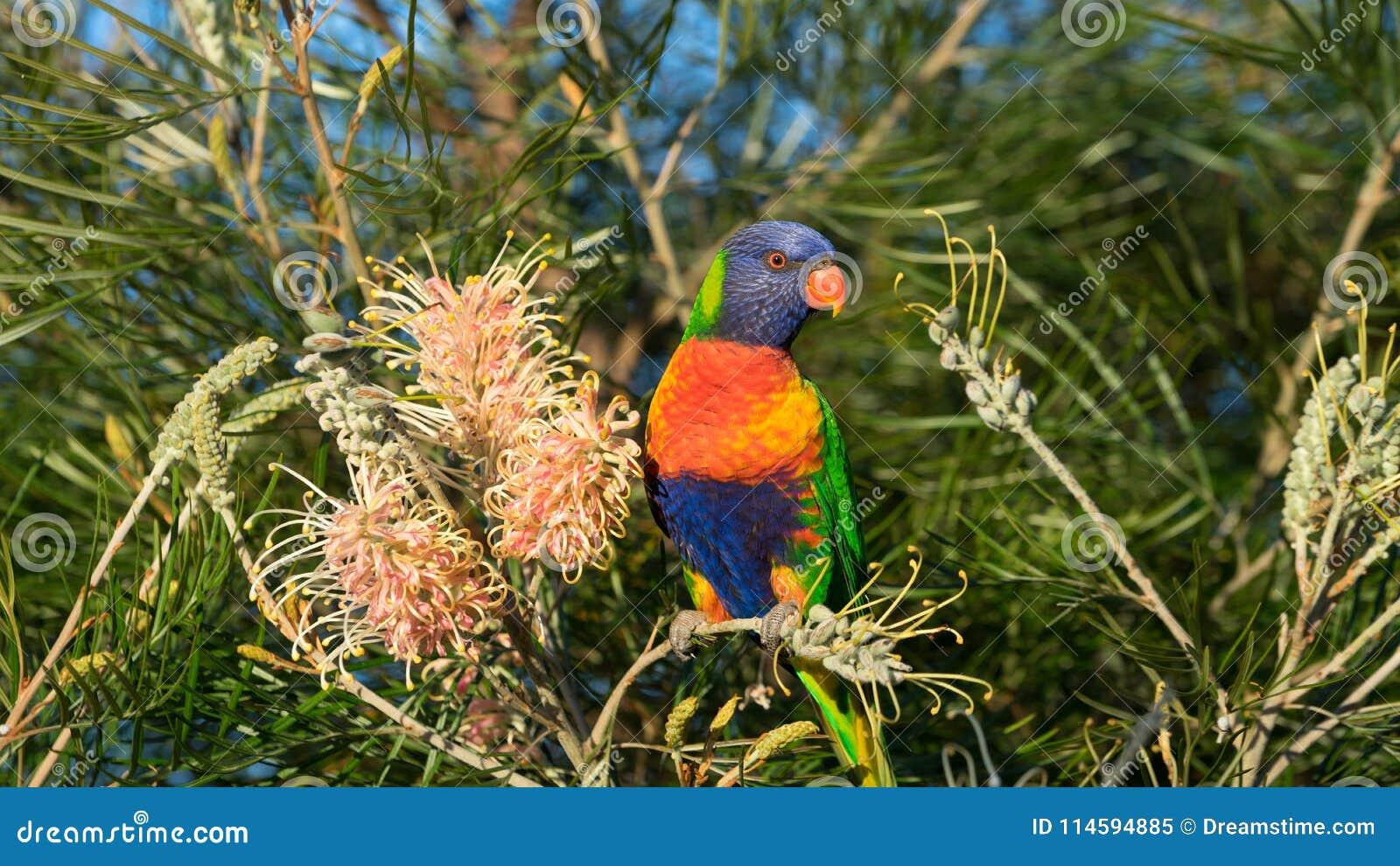Le lorikeet australien d arc-en-ciel était perché sur un buisson de banksia