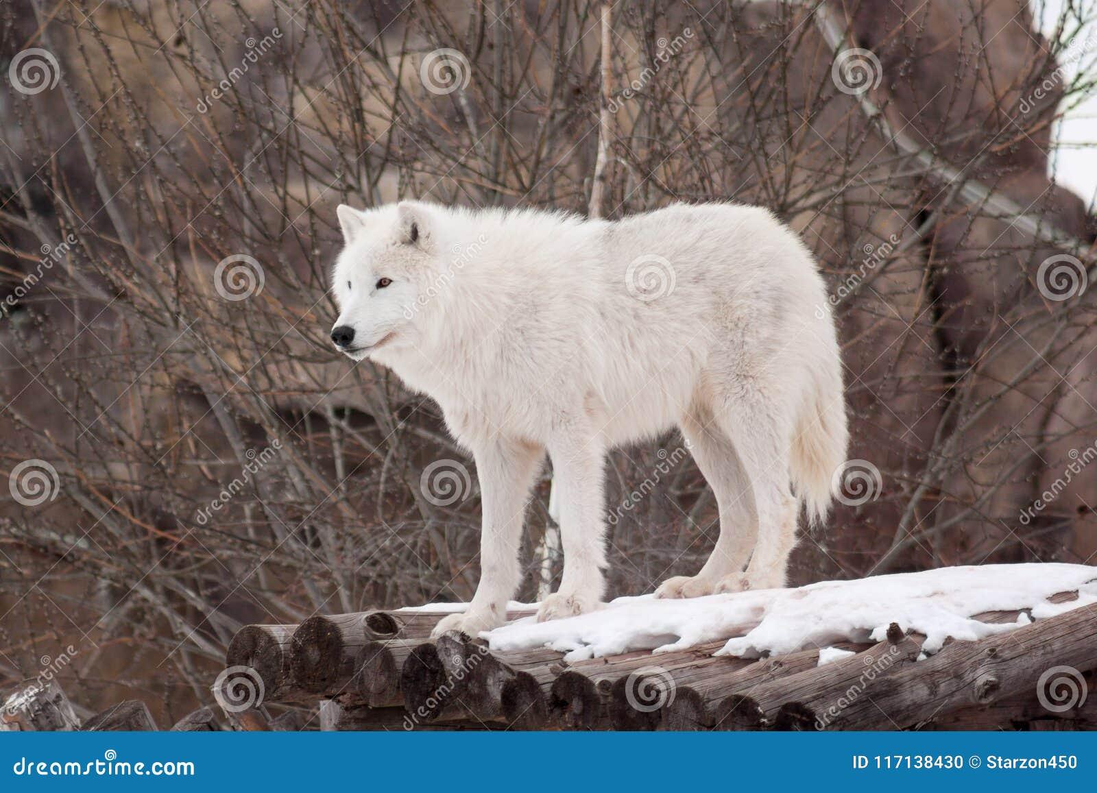 Le loup arctique sauvage se tient sur les rondins en bois Animaux dans la faune Loup polaire ou loup blanc