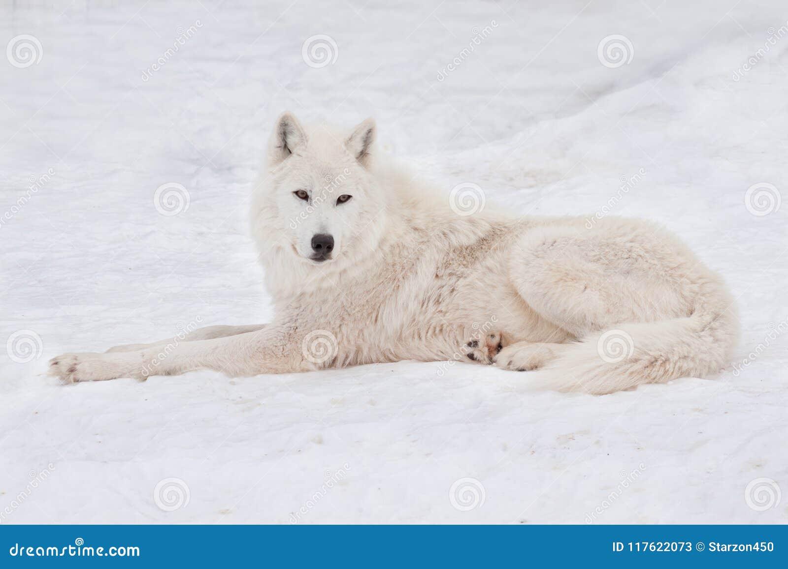 Le loup polaire sauvage se trouve sur la neige blanche loup arctique ou loup blanc animaux dans - Animaux de blanche neige ...