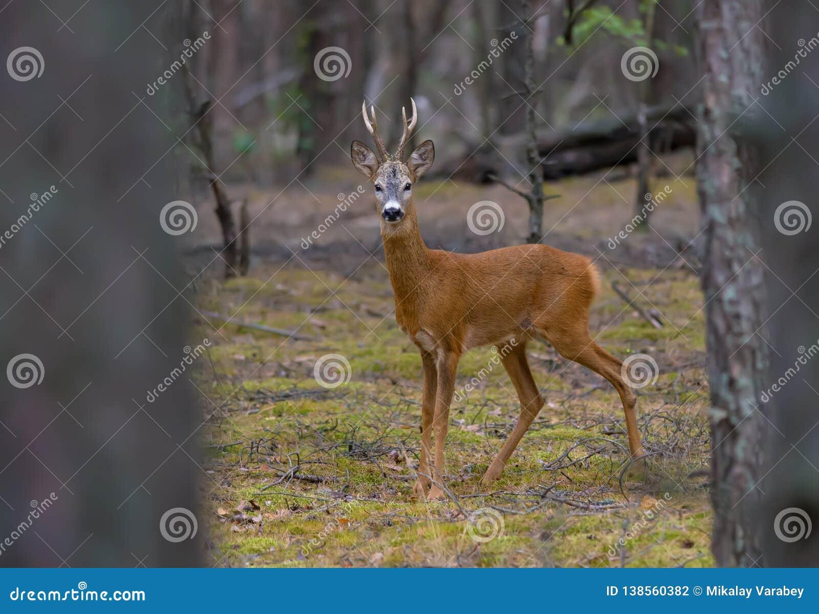 Le mâle de cerfs communs d oeufs de poisson se tient fermement dans la forêt de pin