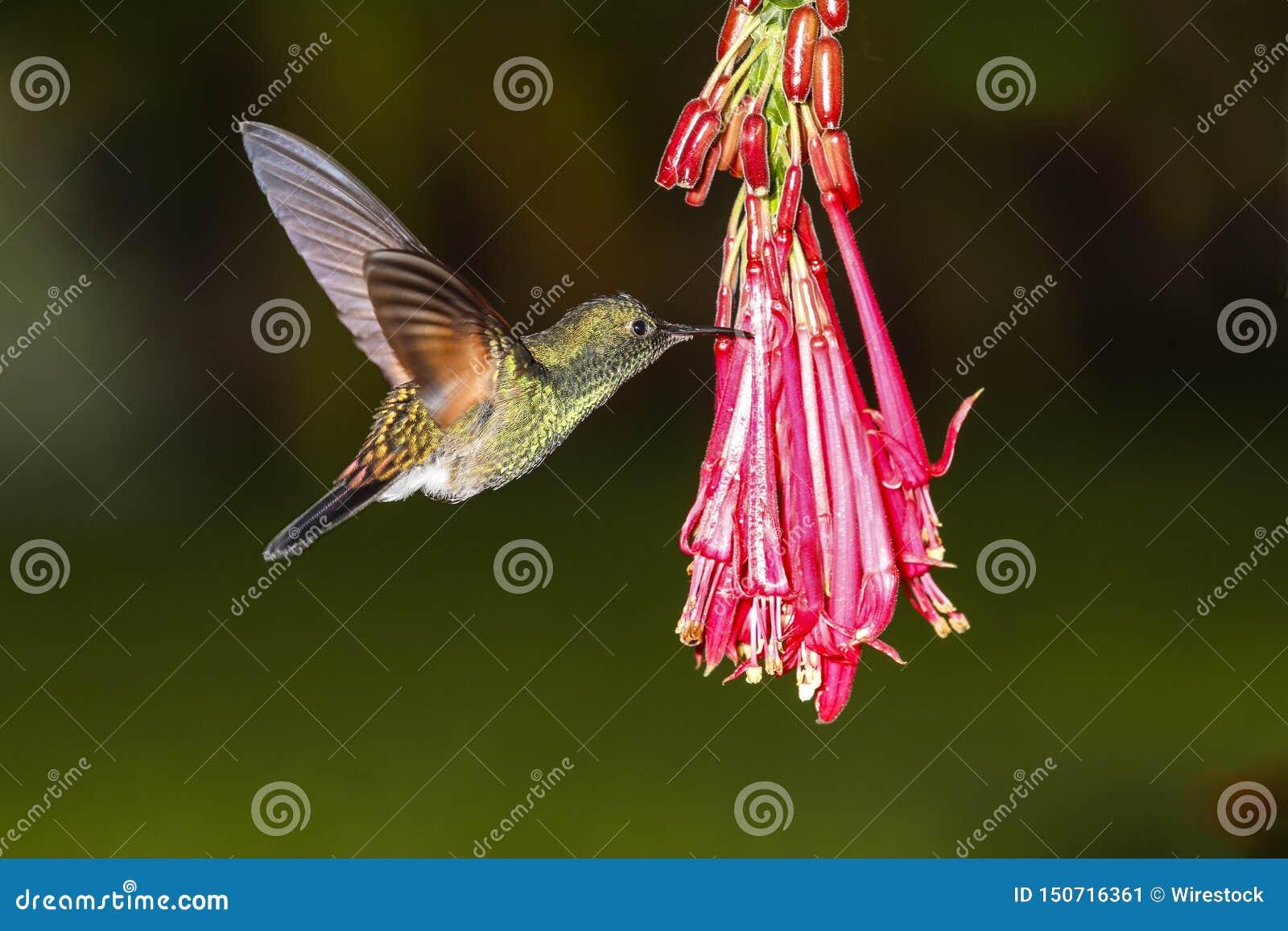 Le mâle Rayure-a coupé la queue l eximia d Eupherusa de colibri