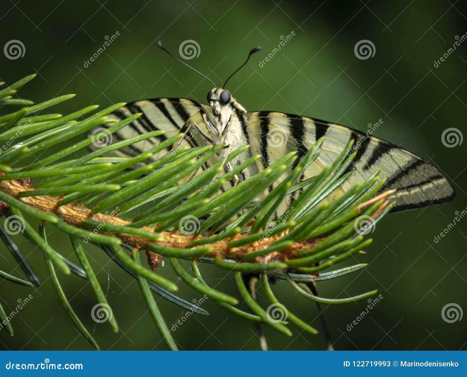 Le machaon Podalirius de papillon se repose faisant face à l appareil-photo