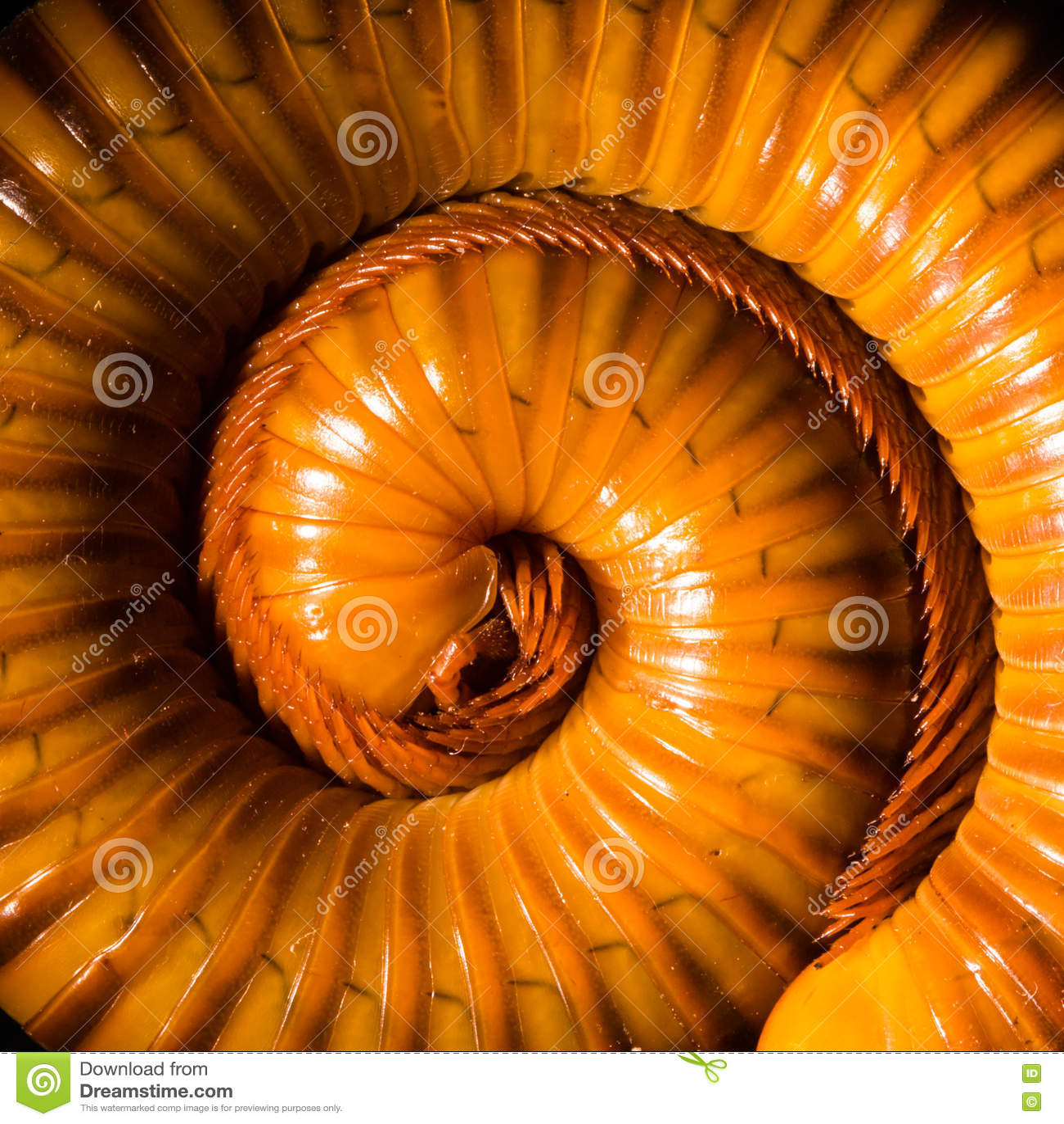 Le macro des mille-pattes oranges et bruns sur le verre avec la réflexion, mille-pattes a lové, désambiguisation