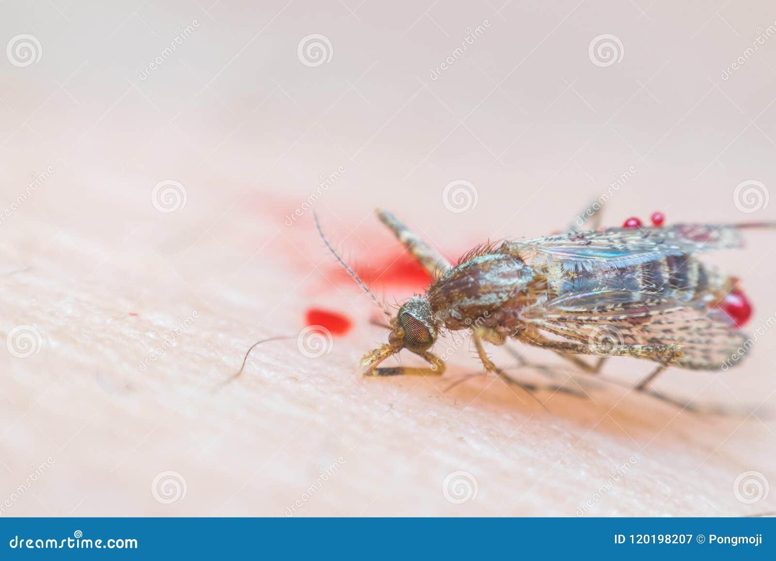 Le macro du moustique heurté (aegypti d aedes) à est mort