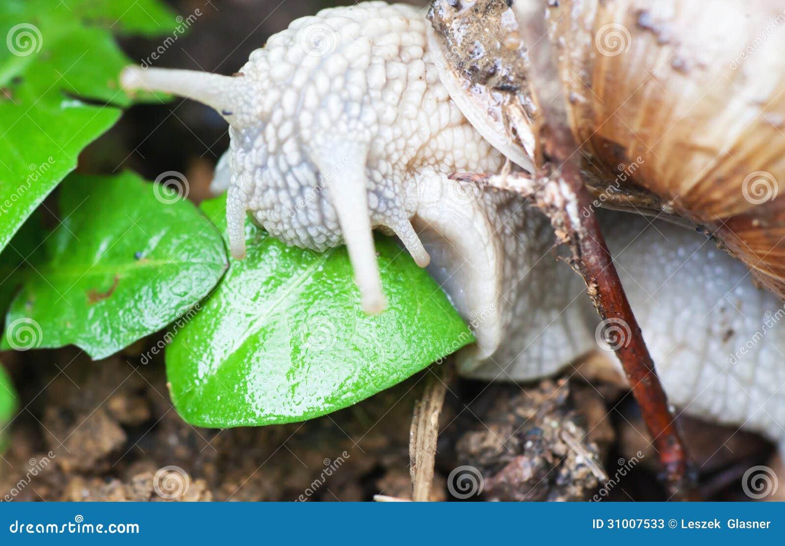 le macro escargot romain mange la feuille photos stock image 31007533. Black Bedroom Furniture Sets. Home Design Ideas