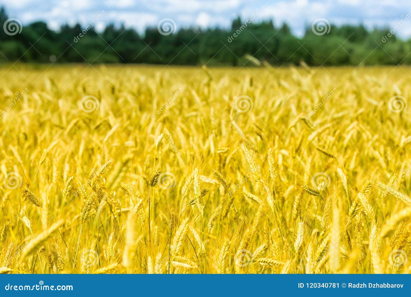 Le macro or met en place le panorama de blé avec le ciel bleu et les nuages, campagne rurale