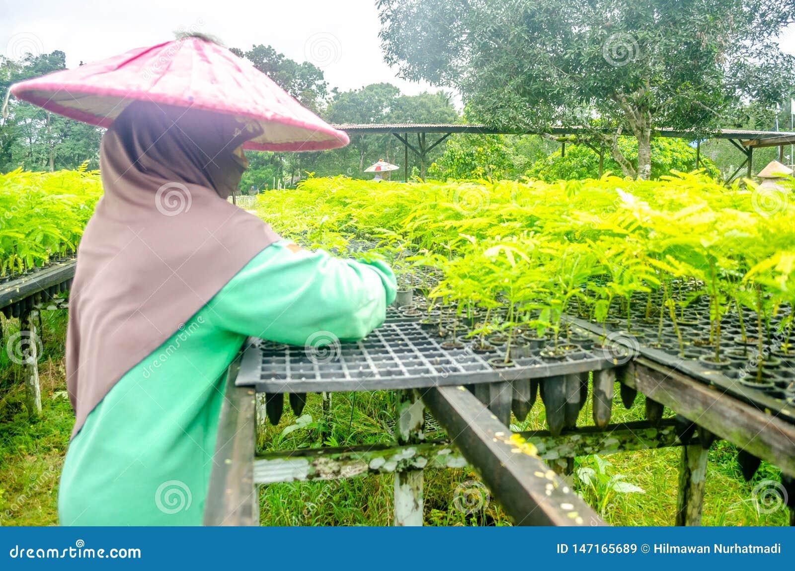 Le main-d œuvre féminine choisissent les jeunes plantes dans la crèche