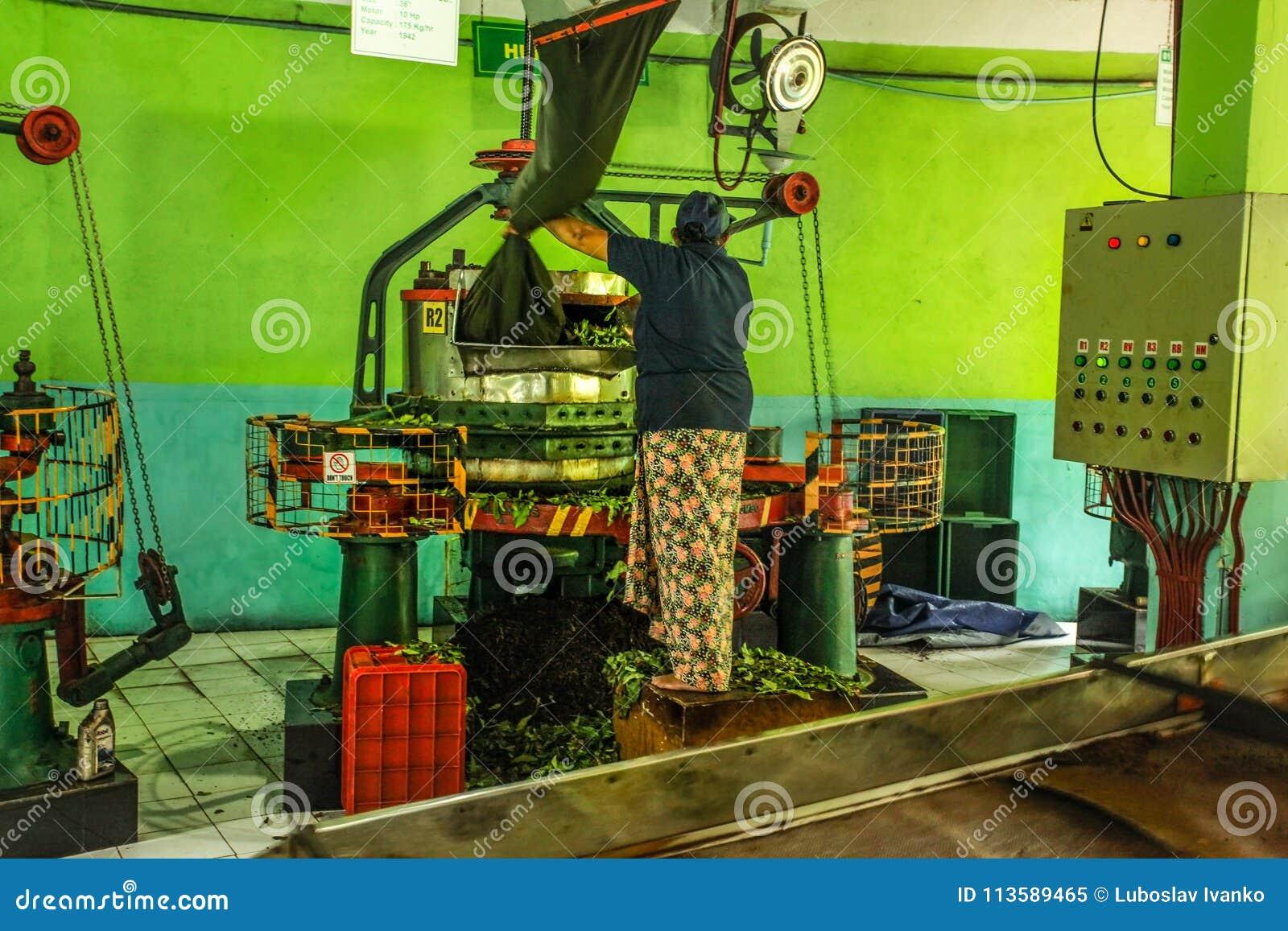 Le main-d œuvre féminine inconnu à l usine de thé de Kadugannawa actionne la machine d humidification de thé cru