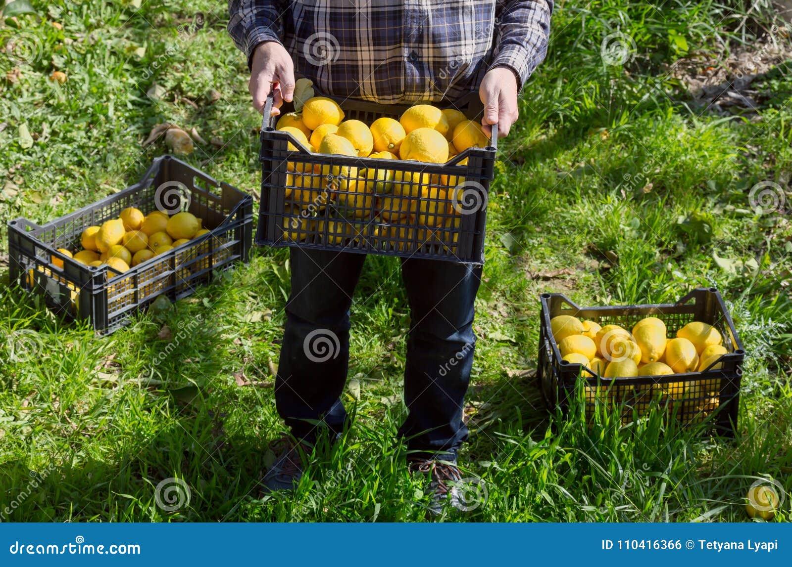 Le mani del ` s degli uomini tengono una scatola con i limoni