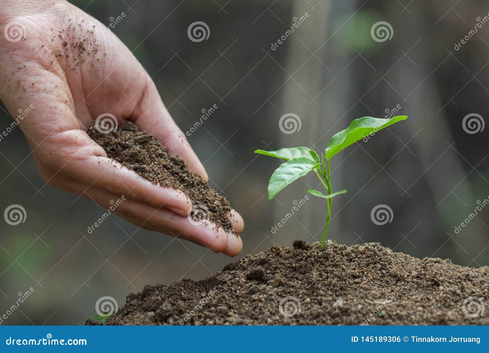 Le mani dell agricoltore che consolidano l albero che cresce sul suolo fertile, manutenzione delle piantine crescenti, mani prote
