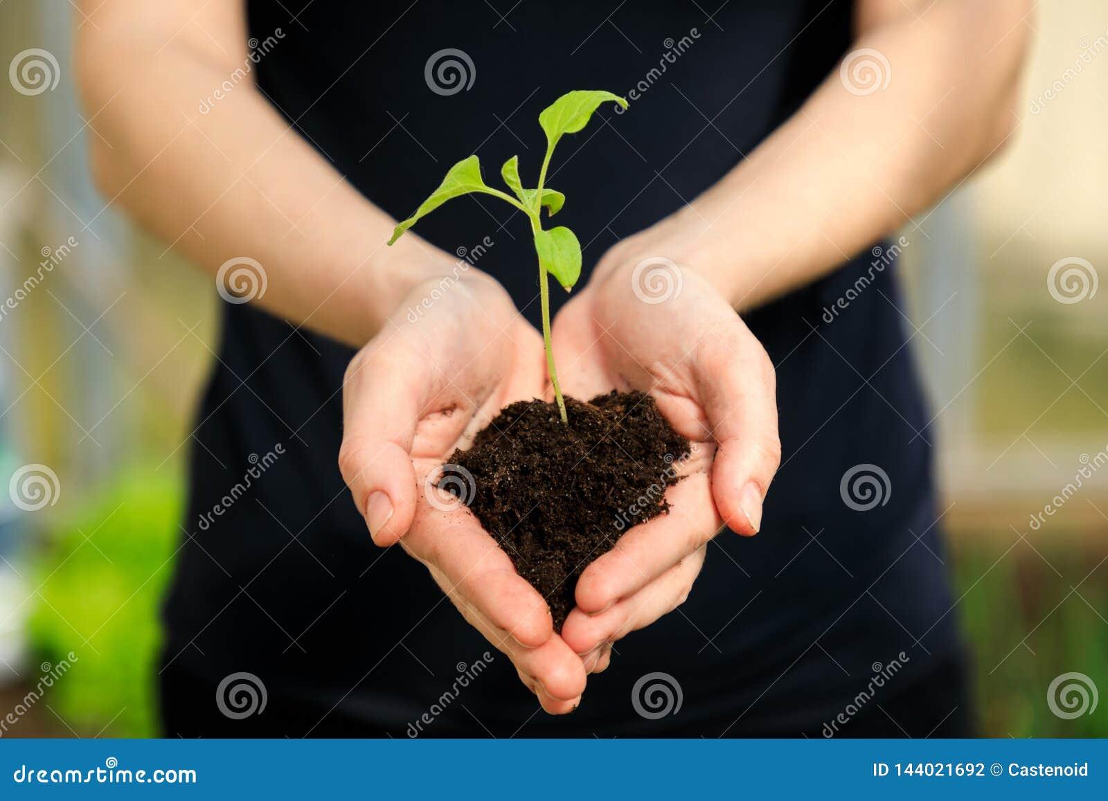 Le mani della femmina che tengono plantula