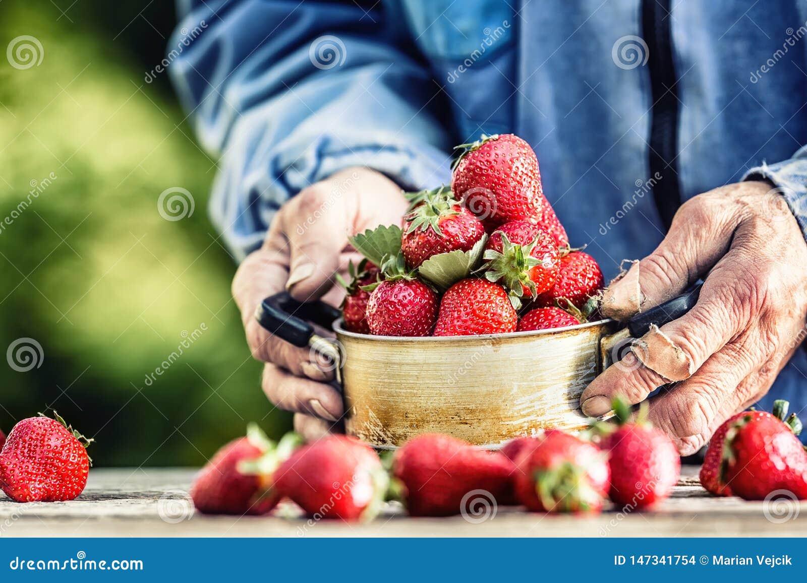 Le mani di Farme tengono un vecchio vaso della cucina in pieno delle fragole mature fresche