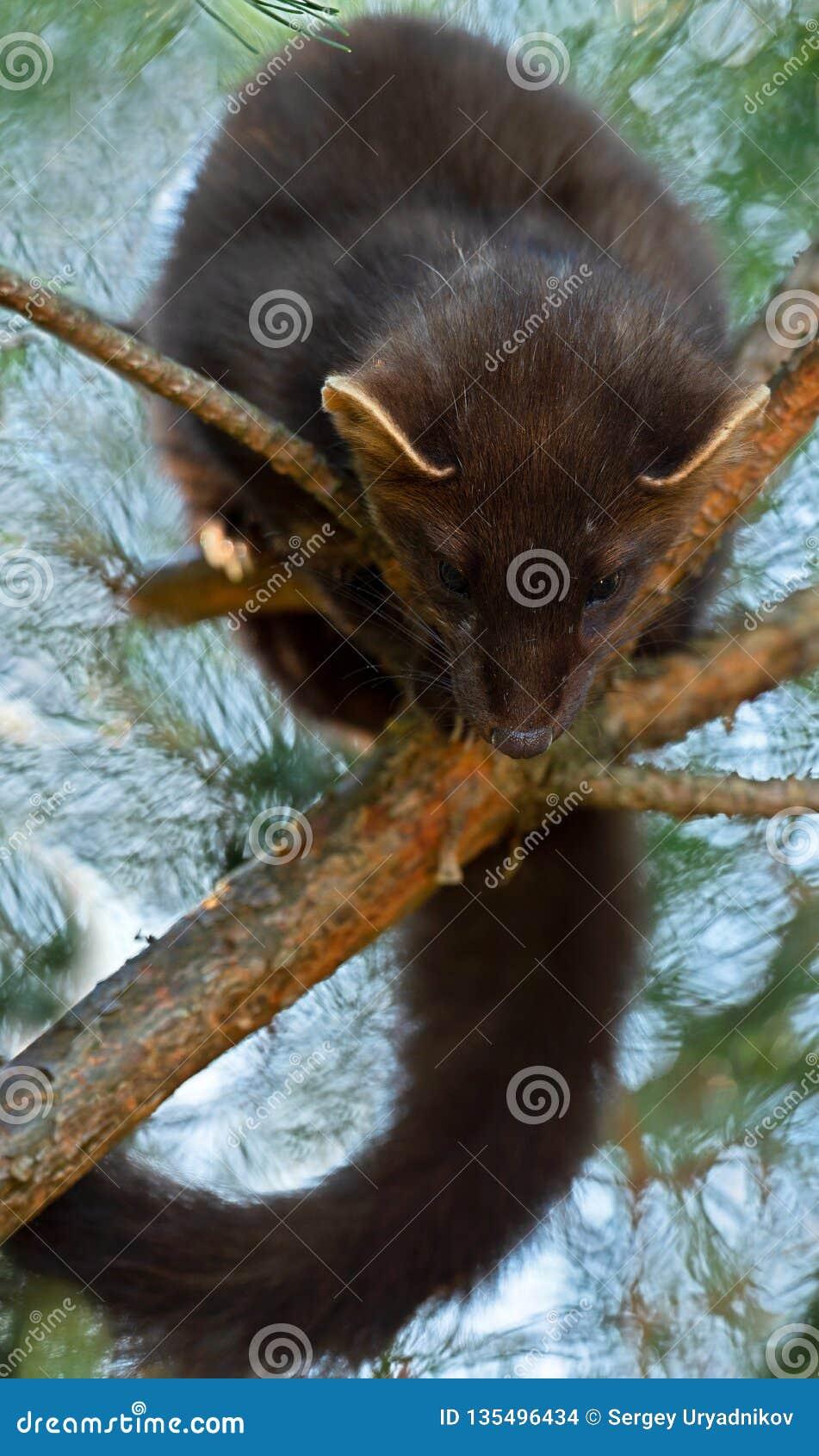 Le martre de pin européen (martes de Martes), connu le plus généralement comme martre de pin en Europe anglophone, et moins génér