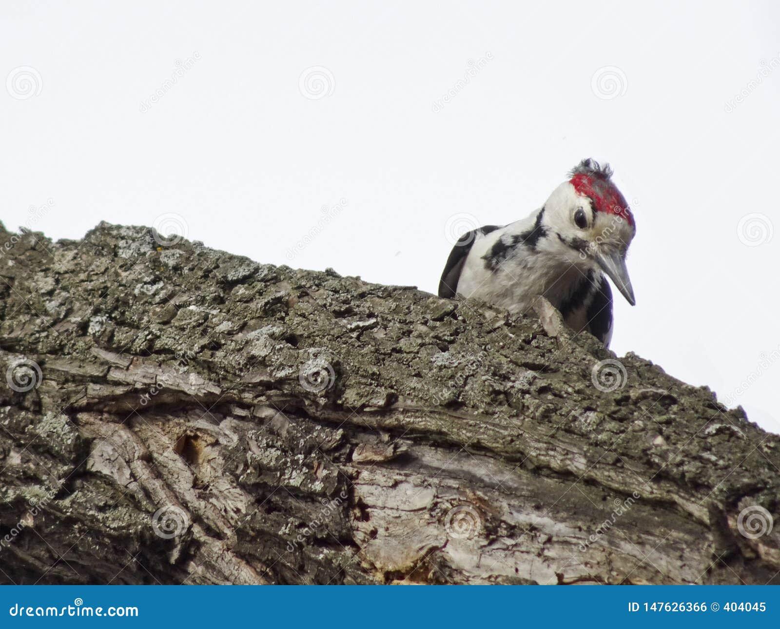 Le medius repéré moyen de Dendrocoptes de pivert se repose sur une branche dans les bois