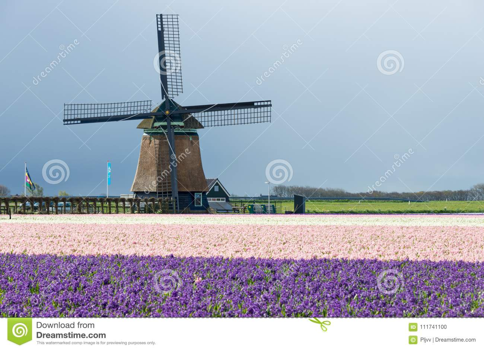 Le moulin à vent traditionnel avec la jacinthe fleurit aux Pays-Bas