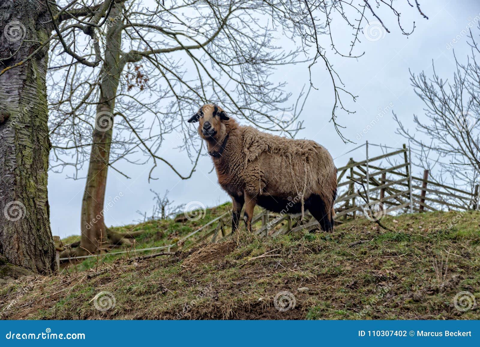 Le mouton du Cameroun se tient dans le pâturage à Iéna