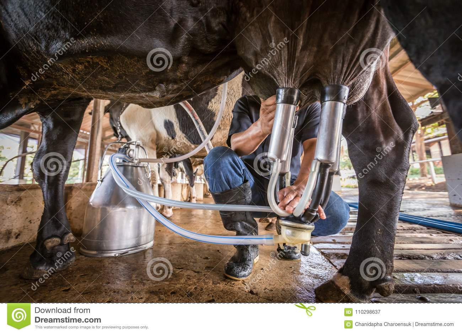 Le mucche con un uomo sta mungendo in un azienda lattiera