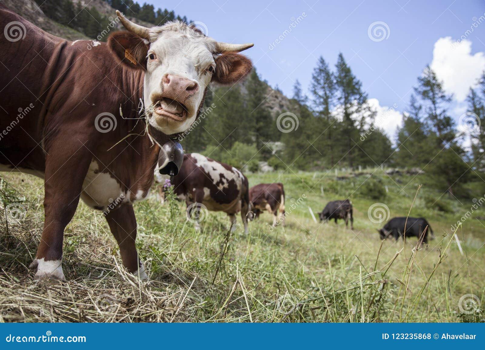 Le mucche di Brown pascono nel prato italiano della montagna del paradiso di gran del parco nazionale