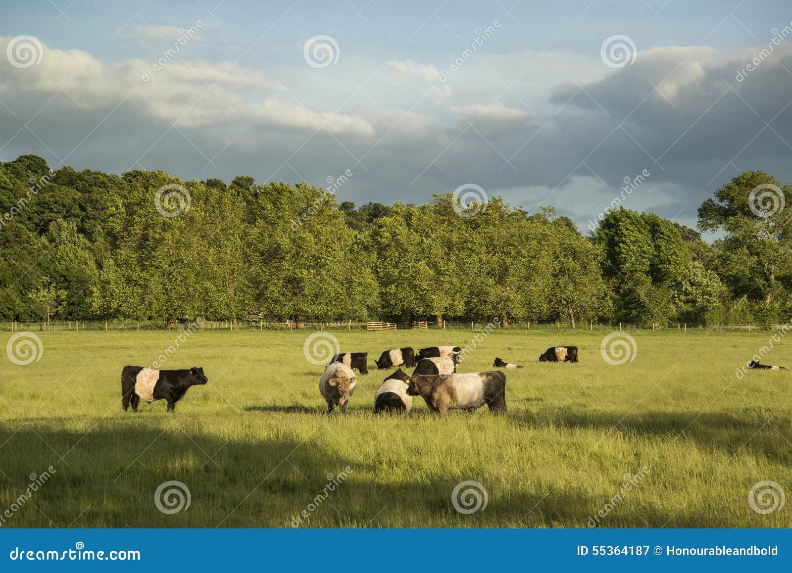 Le mucche nei campi dell azienda agricola abbelliscono sulla sera dell estate in Inghilterra
