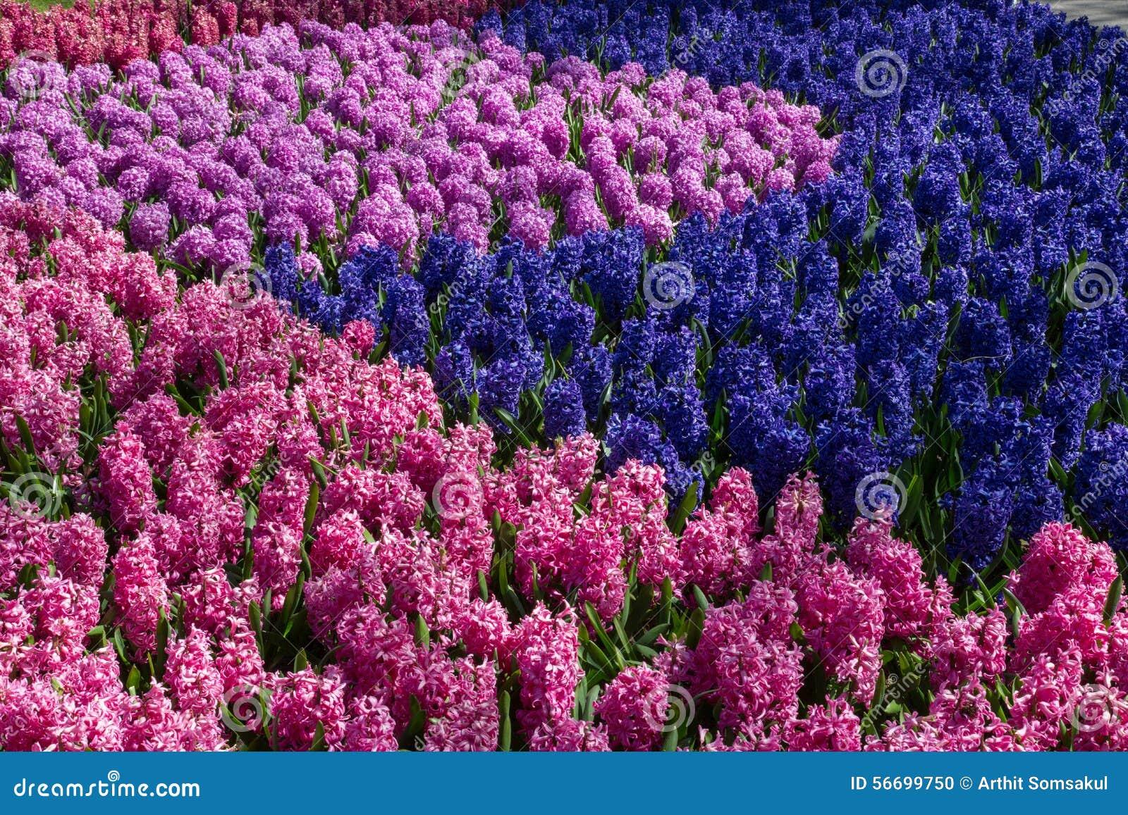 Le muscari fleurit dans le jardin keukenhof pays bas de for Le jardin keukenhof