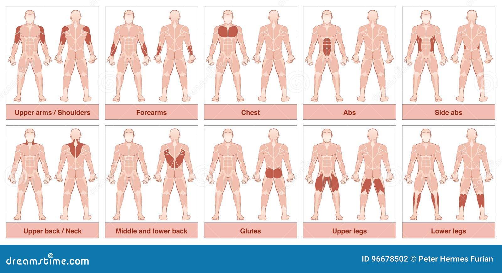 Le Muscle Groupe Le Diagramme Illustration De Vecteur