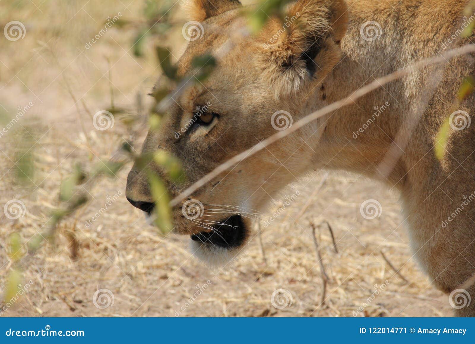 Le?n debajo del ?rbol en el parque nacional del ruaha
