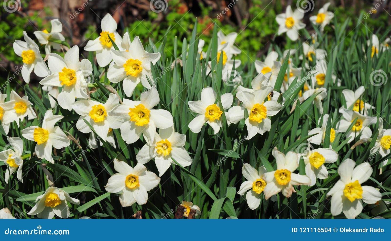 Le narcisse blanc de jardin de ressort fleurit avec le lit de fleur rouge de printemps de tulipes Fleur de narcisse également con