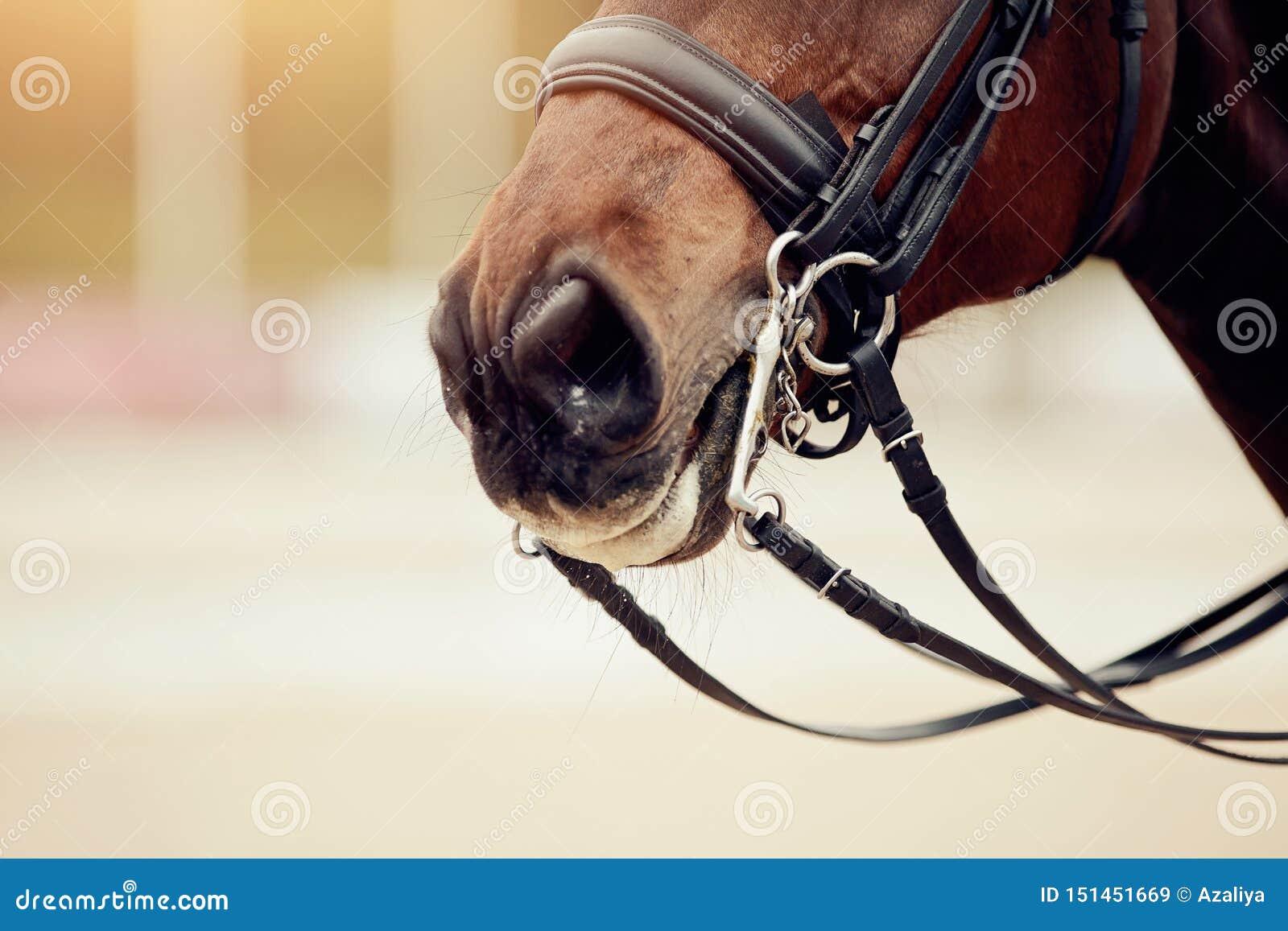 https://thumbs.dreamstime.com/z/le-nez-fol%C3%A2tre-cheval-brun-dans-double-frein-de-dressage-sport-questre-151451669.jpg