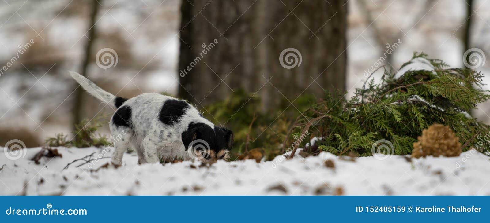 Le nez tricolore de race de Jack Russell Terrier suit une voie pendant l hiver neigeux