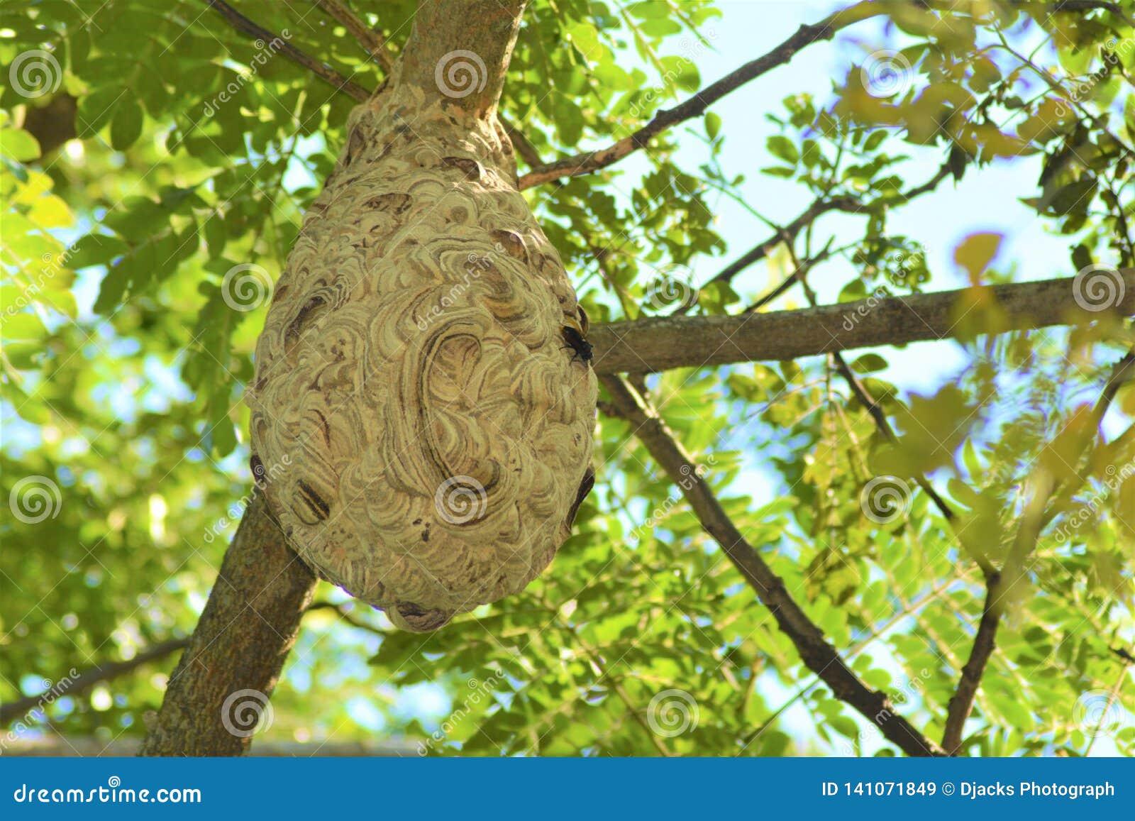 Le nid d une guêpe a été claqué par un arbre pendant le matin